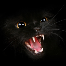 Black Cat Snarling